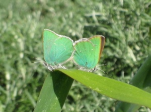 copy-of-green-hairstreak-coastal-bluffs-3-19-10