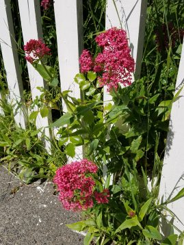 Centranthus-ruber_Photo-by-Stephanie-Falzone-e1495862499281