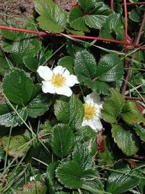 Fragaria_chiloensis_image50