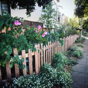 A.Hazelwood.mature fence